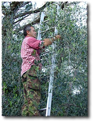 Pressing Olive Oil: Strip the Olives from The Tree By Hand...