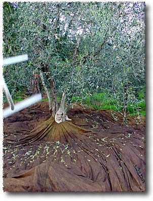 The Olives Fall to Parachutes Tied Around the Trees