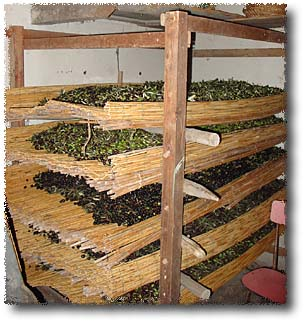 Storing the Olives Prior To Taking them To The Press