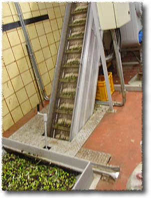 The Olives Go Up the Conveyor Belt...