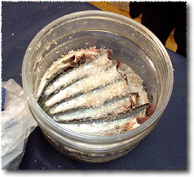 Salting Anchovies: Anchovies Interlayered with Salt